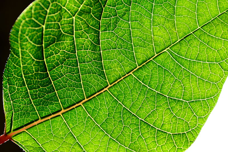 Backlit green poinsettia leaf by Fasaxc