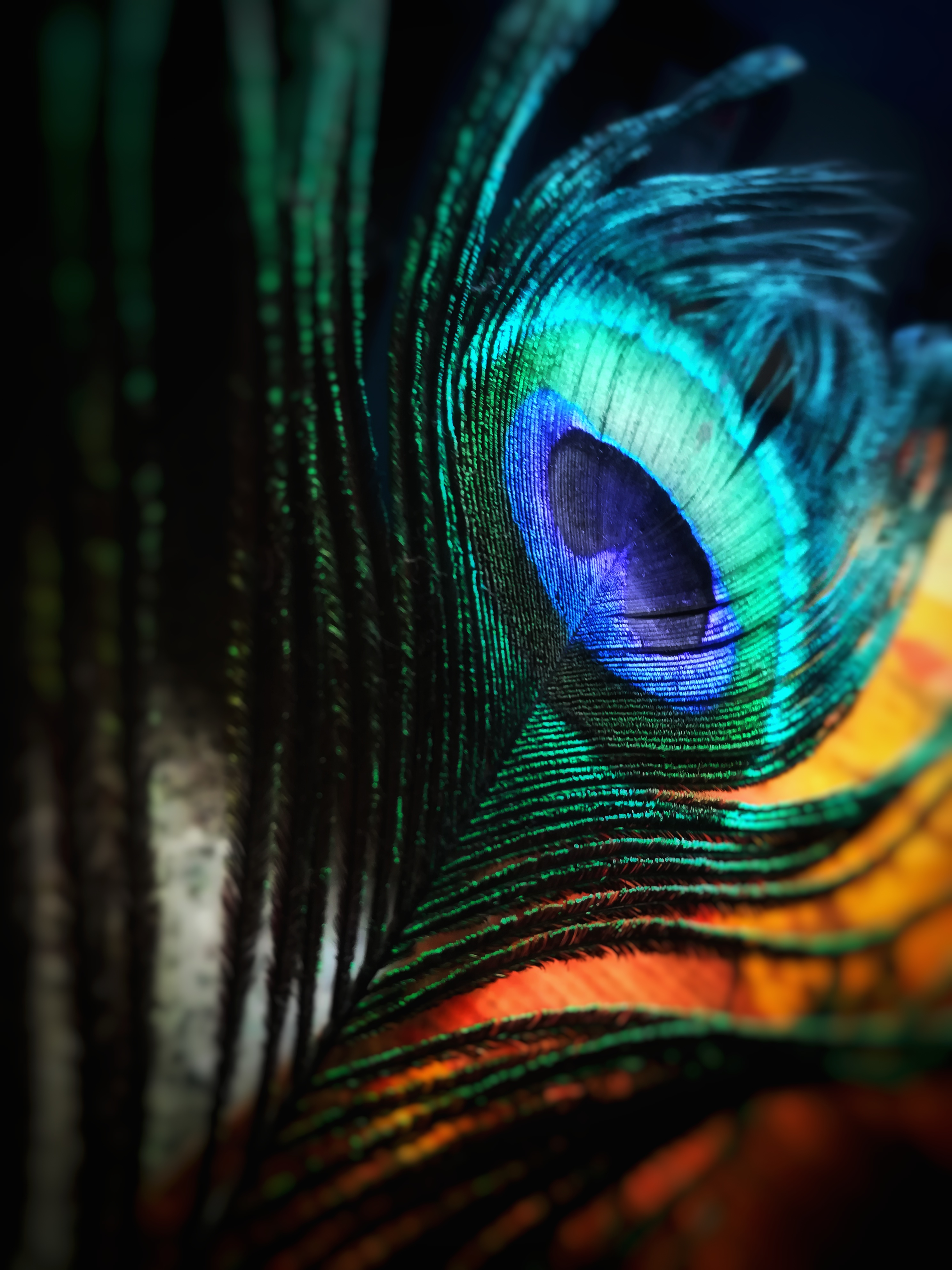 Peacock Feather (via Pexels)