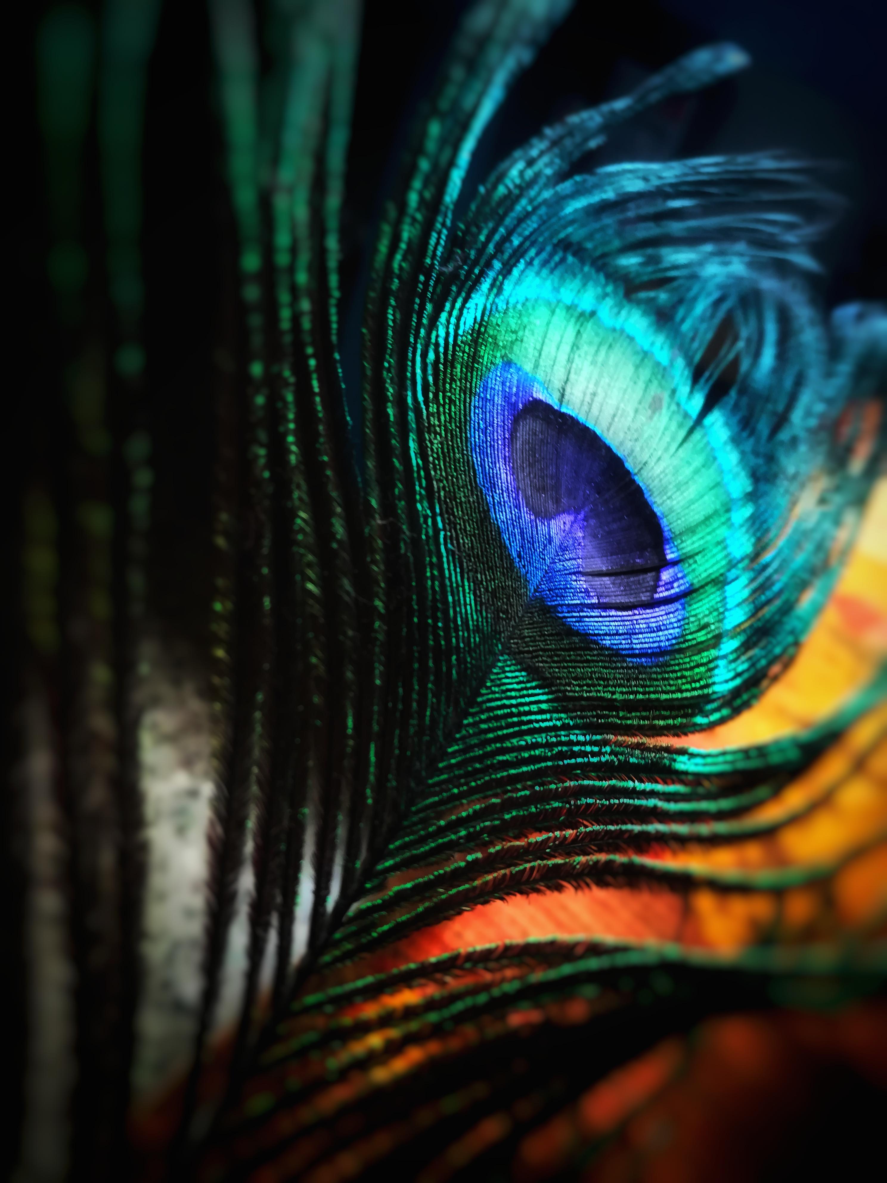 Peacock Feather (via Pexels)