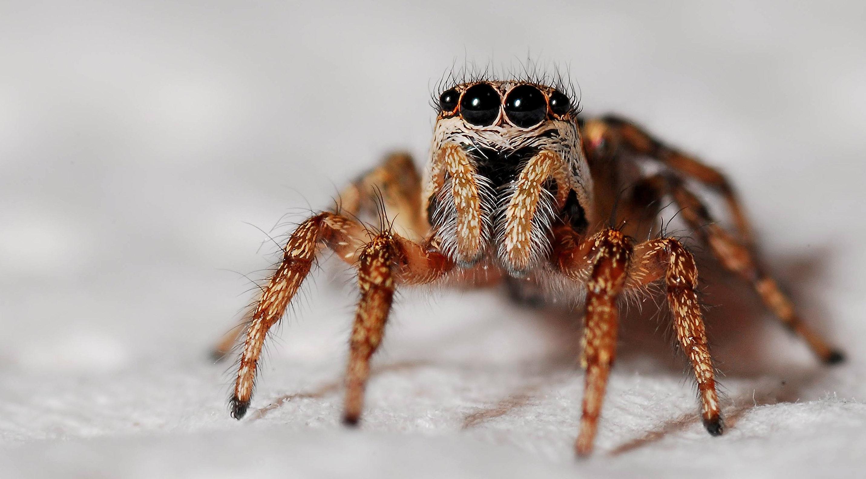 Zebra Spider (via Pexels)
